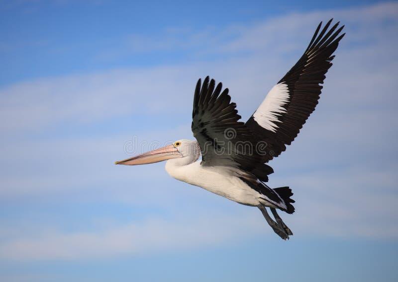 Volo australiano di conspicillatus del Pelecanus del pellicano contro lo sfondo del cielo blu l'australia immagine stock libera da diritti