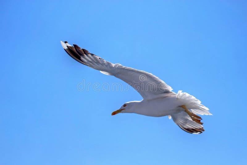 Volo bianco del gabbiano nel cielo blu fotografia stock libera da diritti