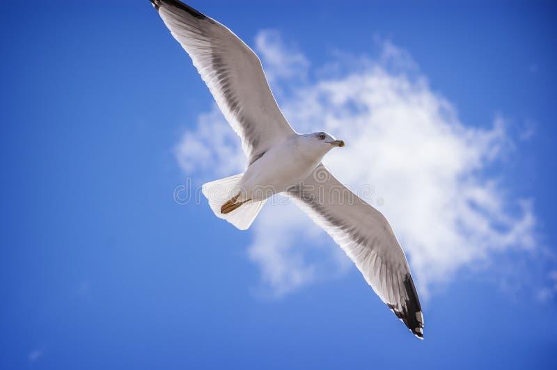 Volo bianco del gabbiano sul fondo del cielo blu alla spiaggia fotografia stock