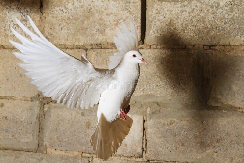 Volo bianco della colomba contro lo sfondo di vecchio muro di mattoni incrinato immagini stock