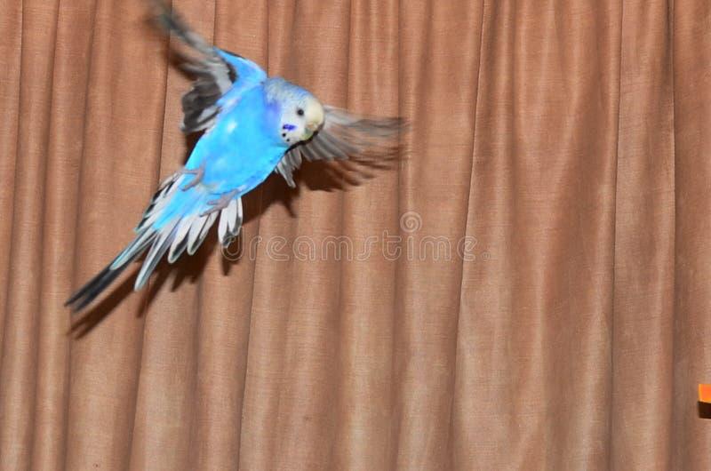 Volo blu del budgie immagine stock