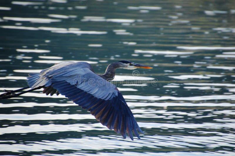 Volo blu dell'airone nella Bassa California del Sur, Messico immagine stock libera da diritti