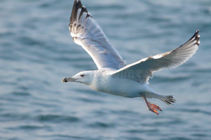 Volo caspico del gabbiano sopra l'oceano blu fotografie stock