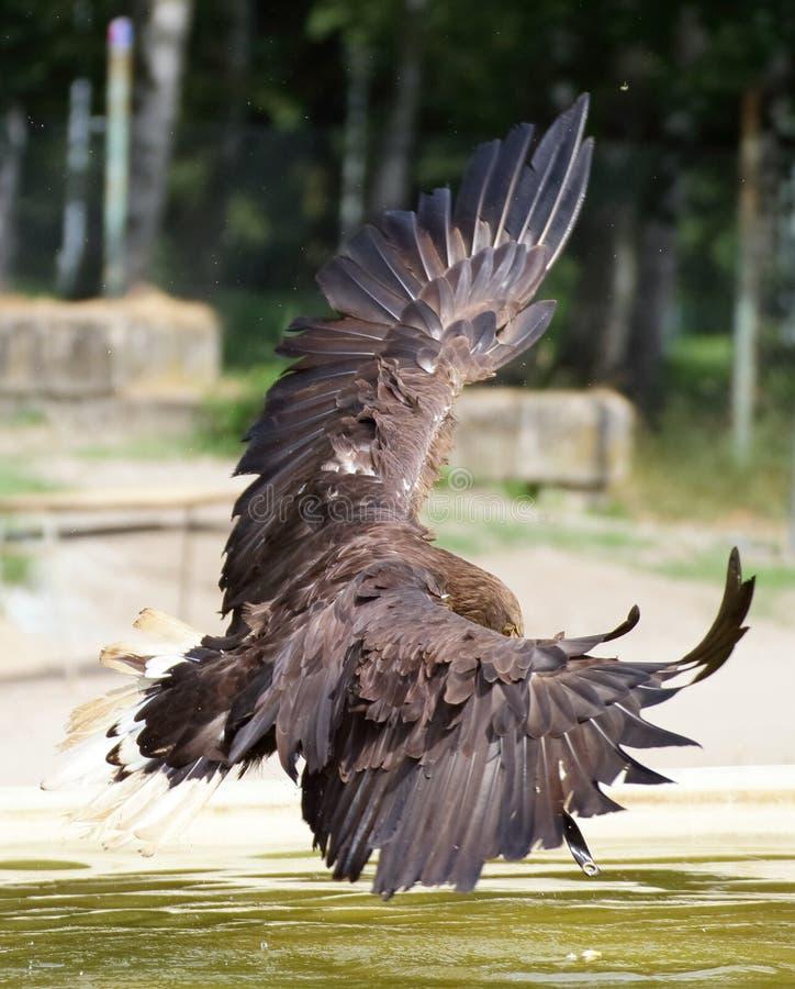Volo dalla coda bianca dell'aquila fotografia stock libera da diritti