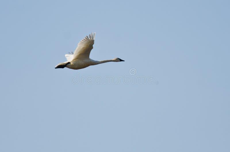 Volo del cigno di tundra in un cielo blu immagine stock