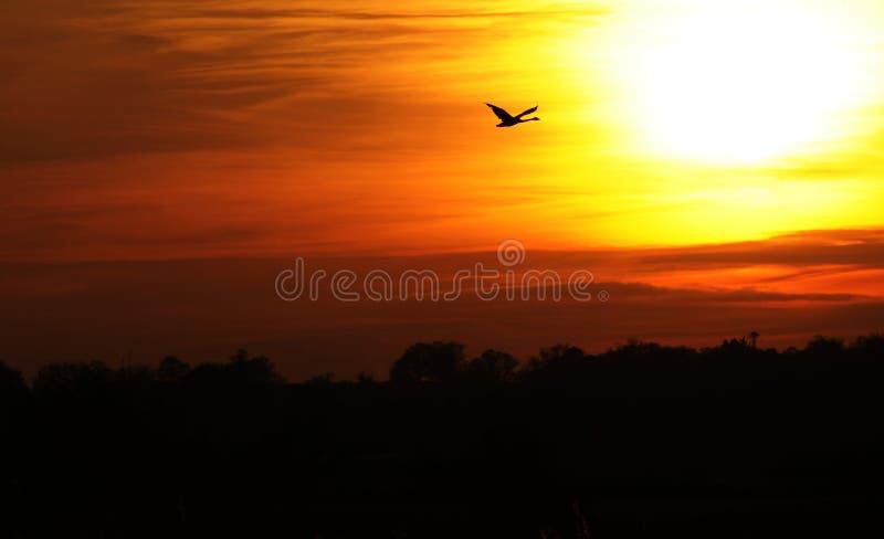 Volo del cigno nel tramonto variopinto immagini stock libere da diritti