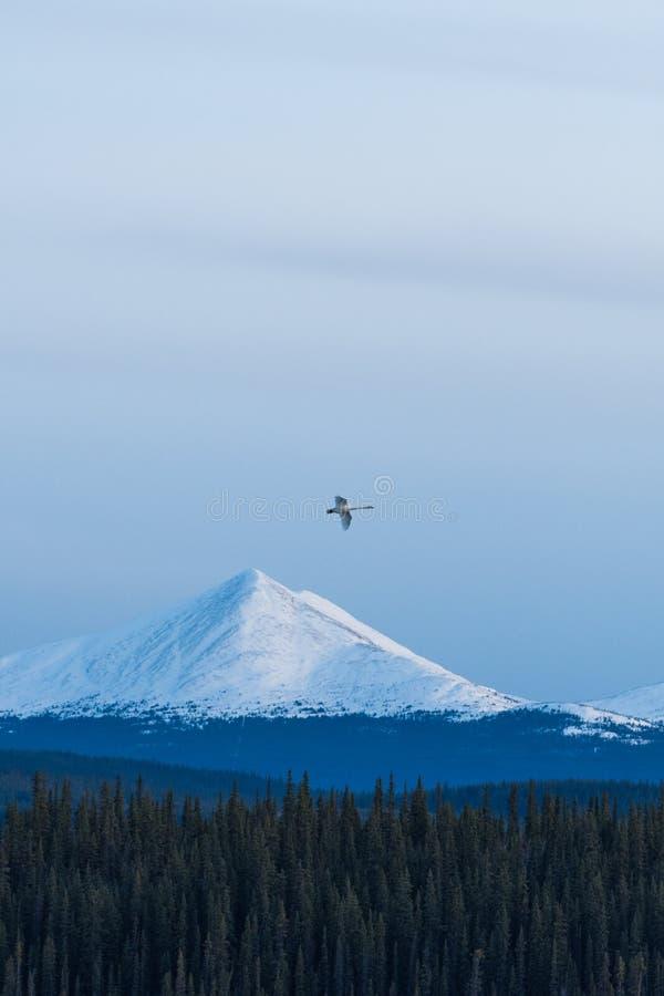 Volo del cigno sopra una montagna nella sera fotografia stock