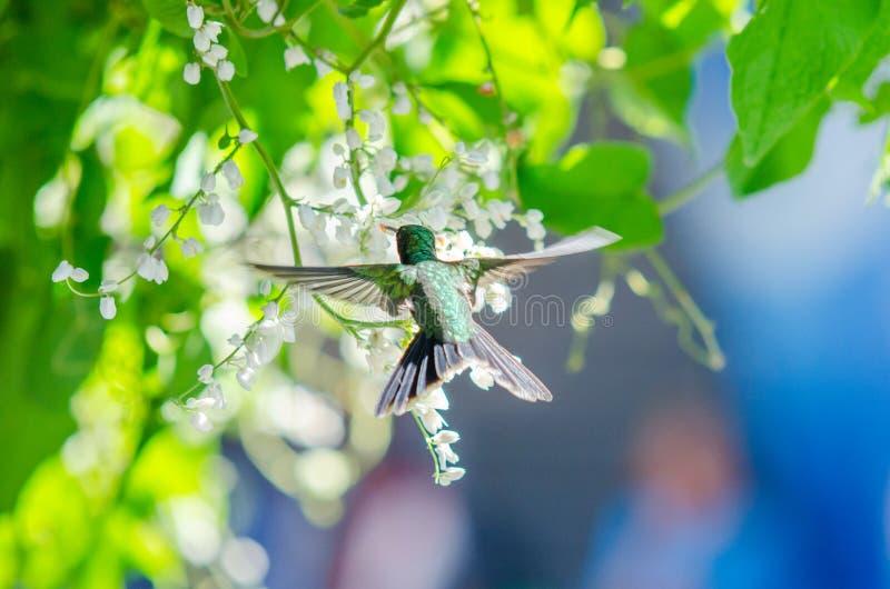 Volo del colibrì accanto ad alcuni fiori immagine stock libera da diritti