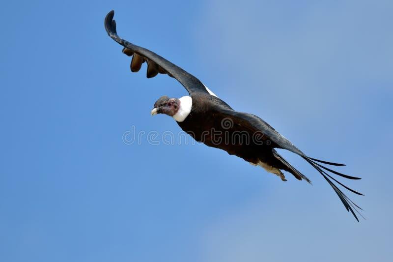 Volo del condor andino (gryphus del Vultur) fotografia stock