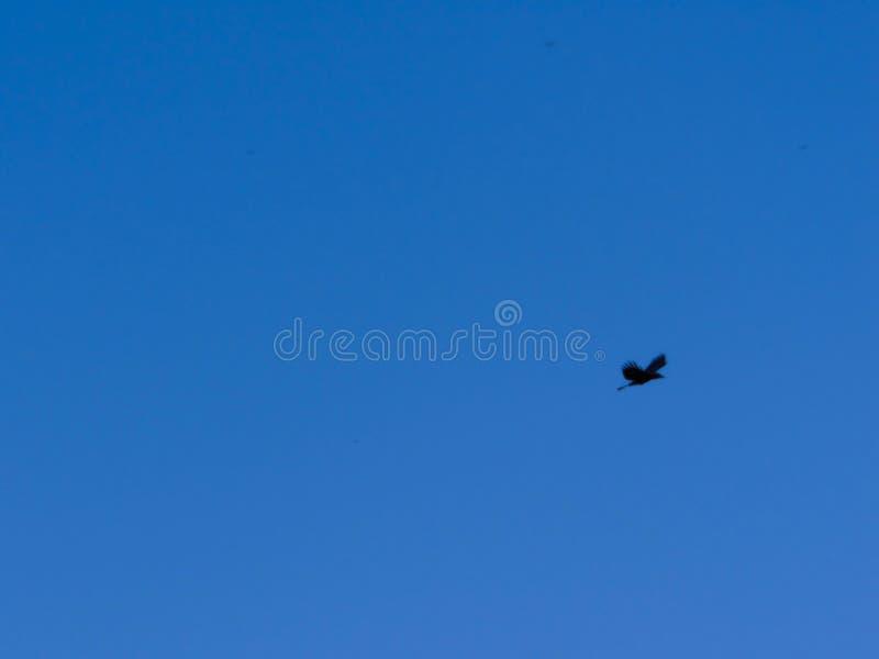 Volo del corvo contro il chiaro cielo blu immagini stock libere da diritti