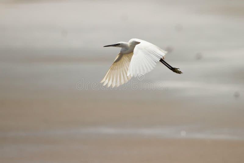Volo del Egret fotografia stock