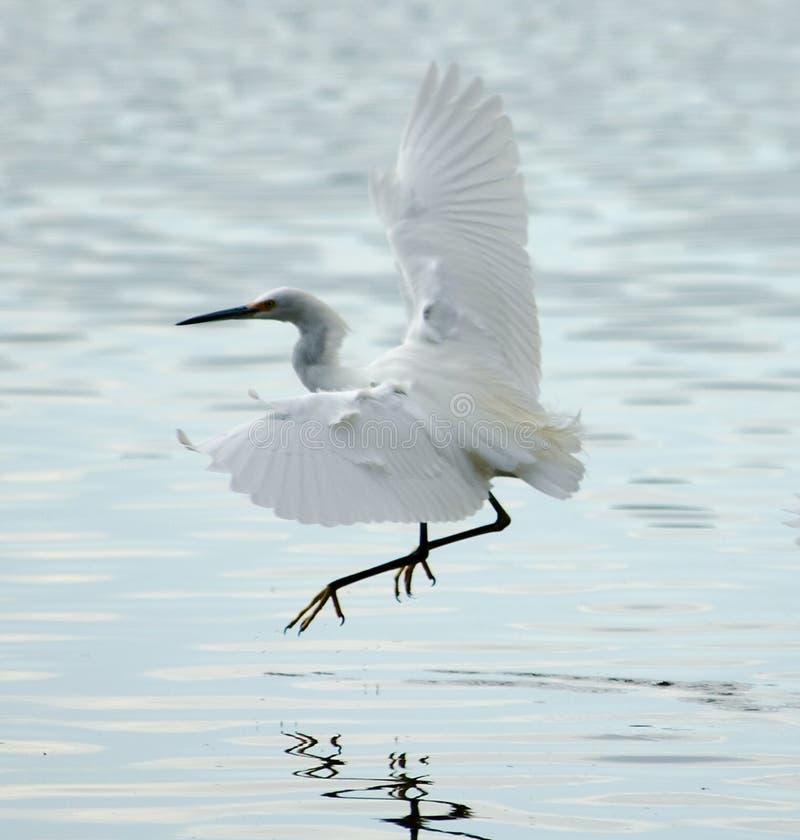 Volo del Egret di Snowy nella laguna di Bolinas fotografie stock