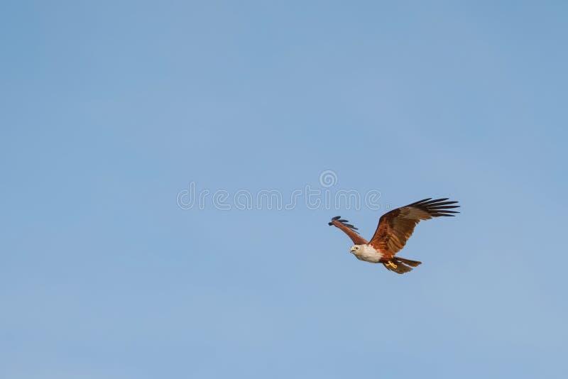 volo del falco dell'aquila nel cielo blu immagini stock