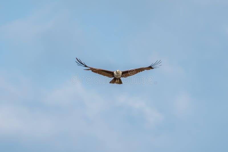volo del falco dell'aquila nel cielo blu fotografia stock