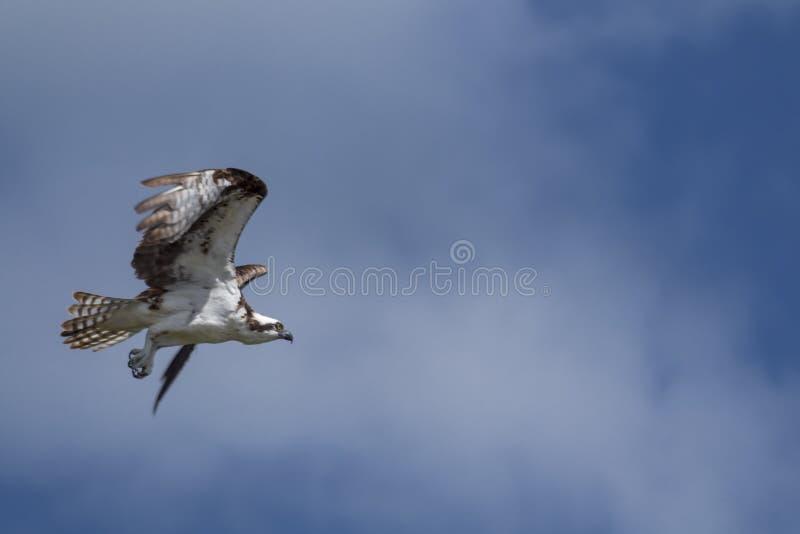 Volo del falco pescatore pronto a cercare fotografie stock libere da diritti
