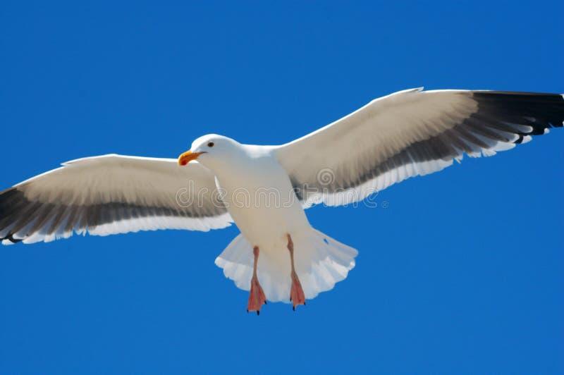 Download Volo del gabbiano immagine stock. Immagine di cielo, naughty - 7301001