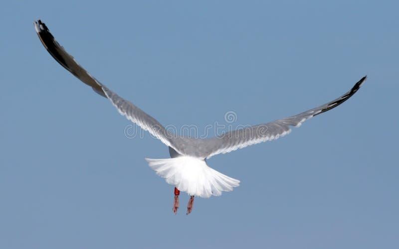 Volo del gabbiano assente immagini stock libere da diritti