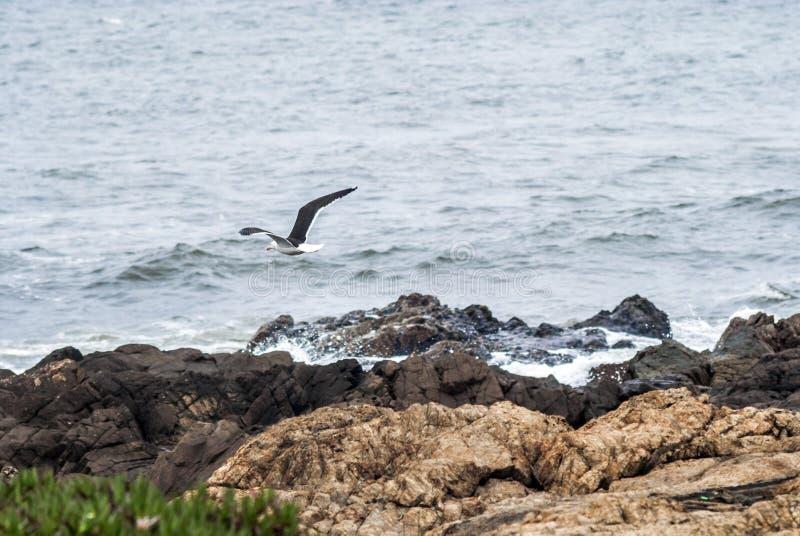Volo del gabbiano attraverso il mare con le ali spalancate immagini stock libere da diritti
