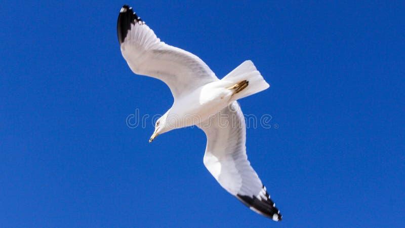 Volo del gabbiano in cielo blu fotografia stock libera da diritti
