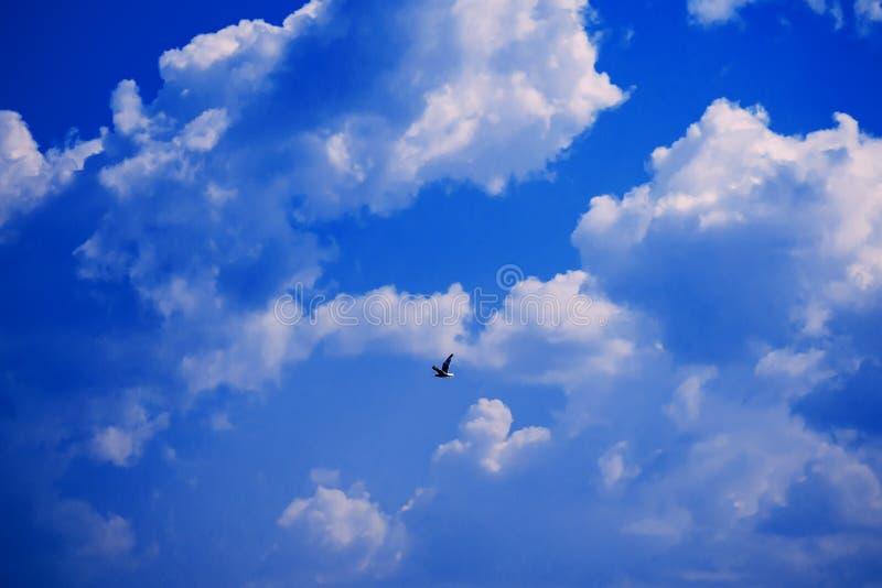 Volo del gabbiano contro il chiaro cielo blu con le nuvole bianche immagine stock