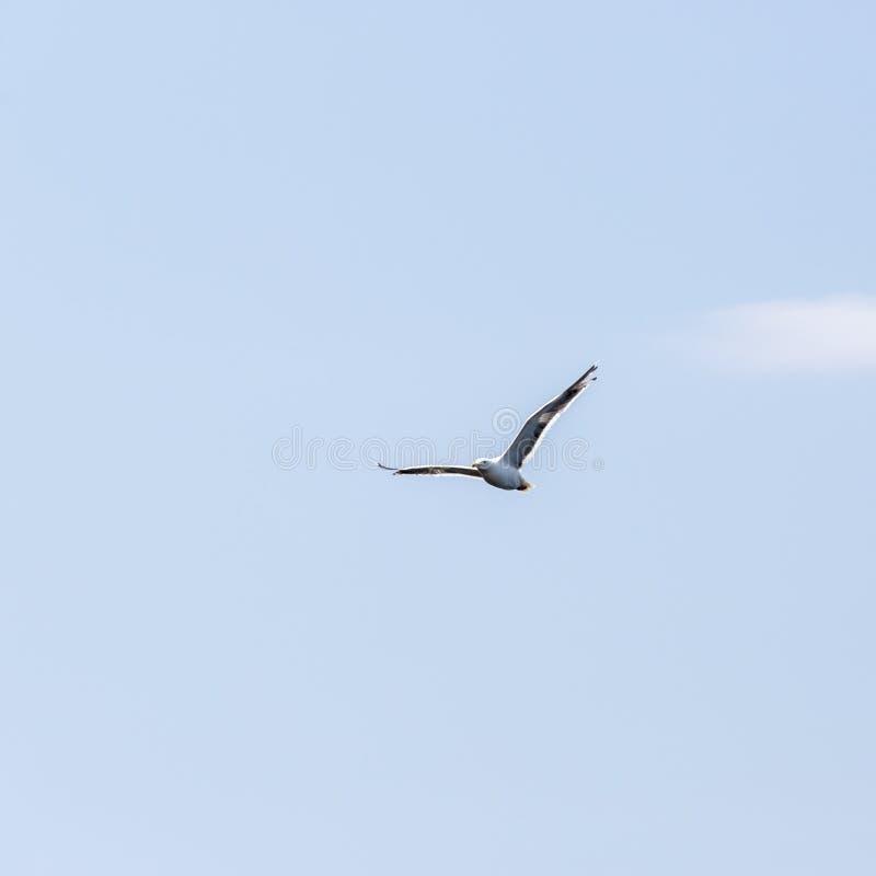 Volo del gabbiano di libertà di solitudine nel cielo blu sopra il mare immagine stock libera da diritti