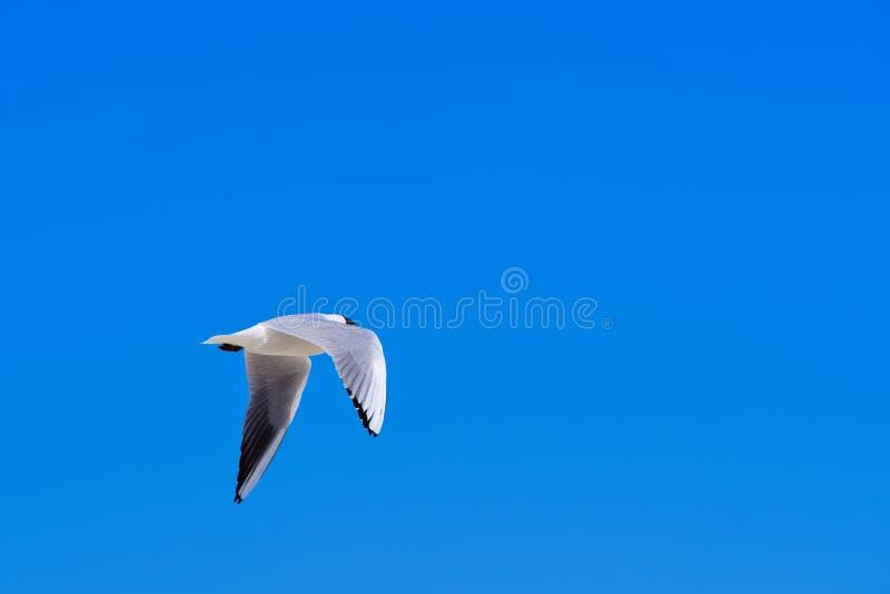 Volo del gabbiano nel cielo blu fotografie stock libere da diritti