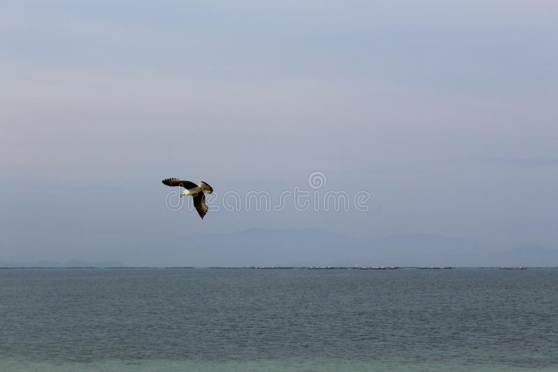 Volo del gabbiano nel mare blu fotografie stock libere da diritti