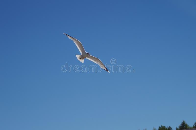 Volo del gabbiano sopra un lago fotografie stock libere da diritti