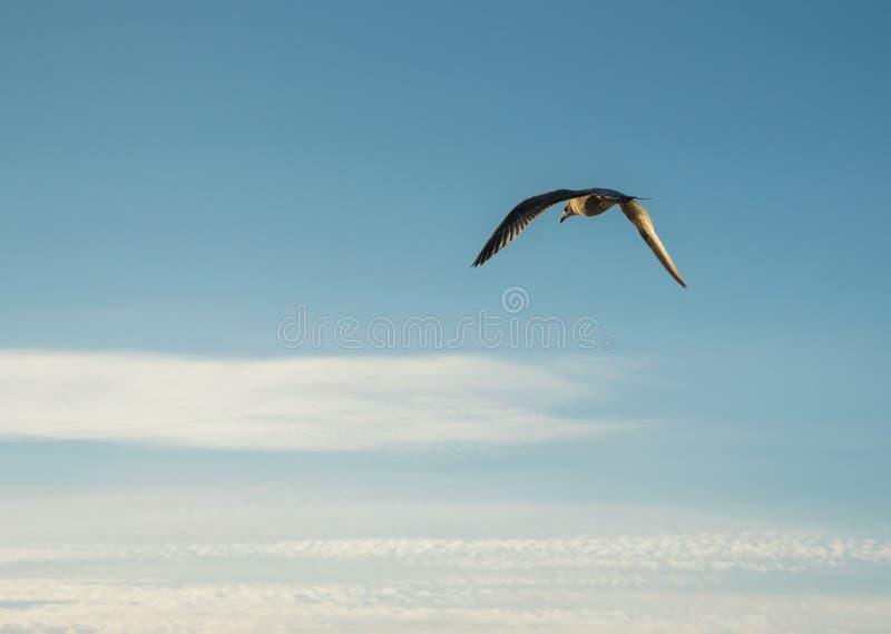 Volo del gabbiano su un fondo di cielo blu fotografia stock libera da diritti