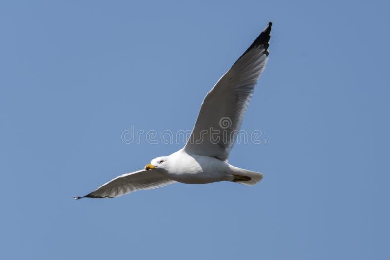 Volo del gabbiano sul lago fotografie stock libere da diritti