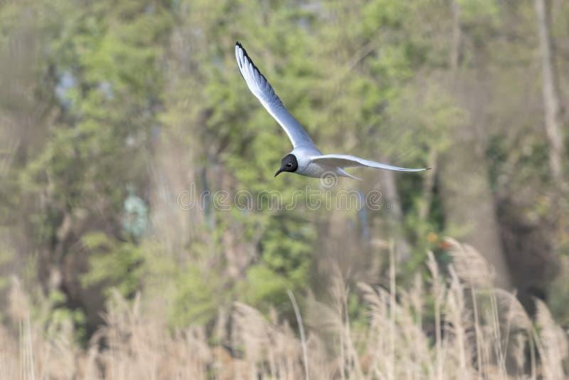 Volo del gabbiano sul lago immagini stock