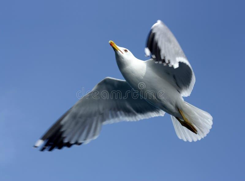 Volo del gabbiano in un chiaro cielo blu fotografia stock