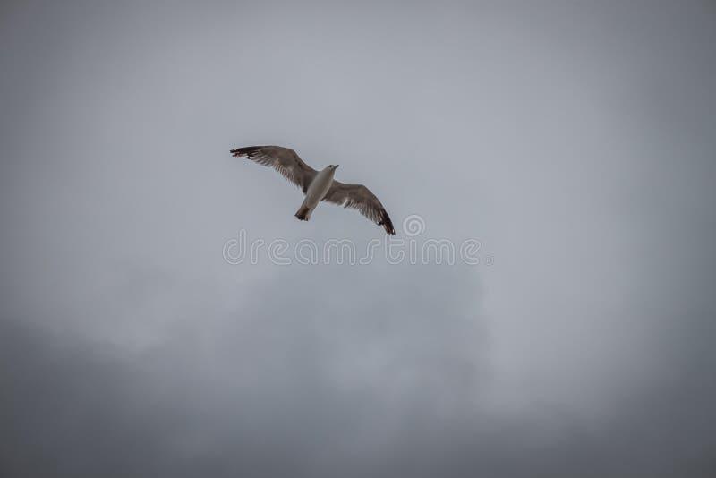 Volo del gabbiano in un cielo grigio fotografie stock libere da diritti