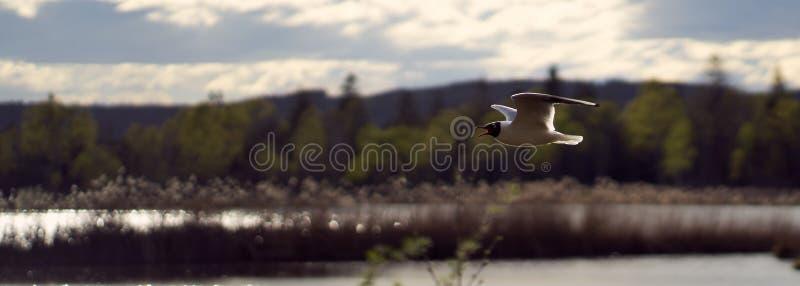 Volo del gabbiano in una linea retta sopra attraccare fotografia stock libera da diritti