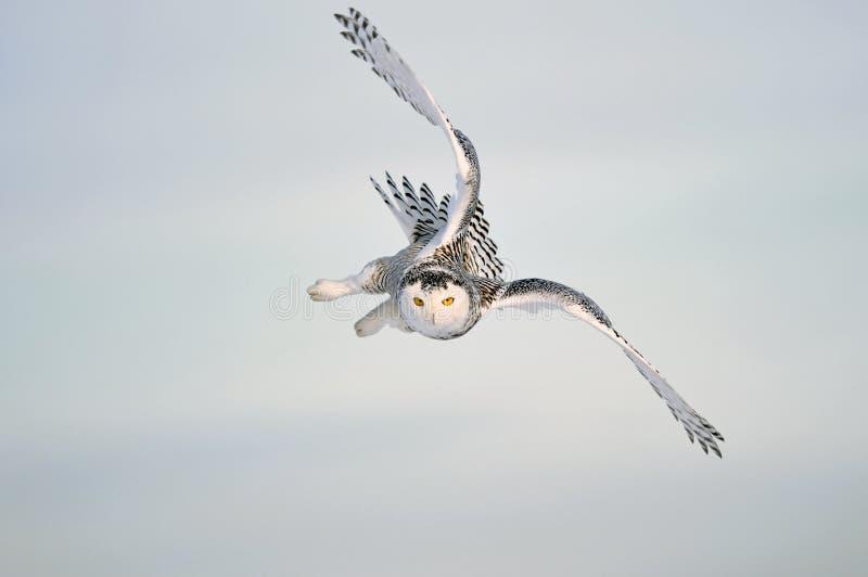 Volo del gufo dello Snowy fotografie stock libere da diritti