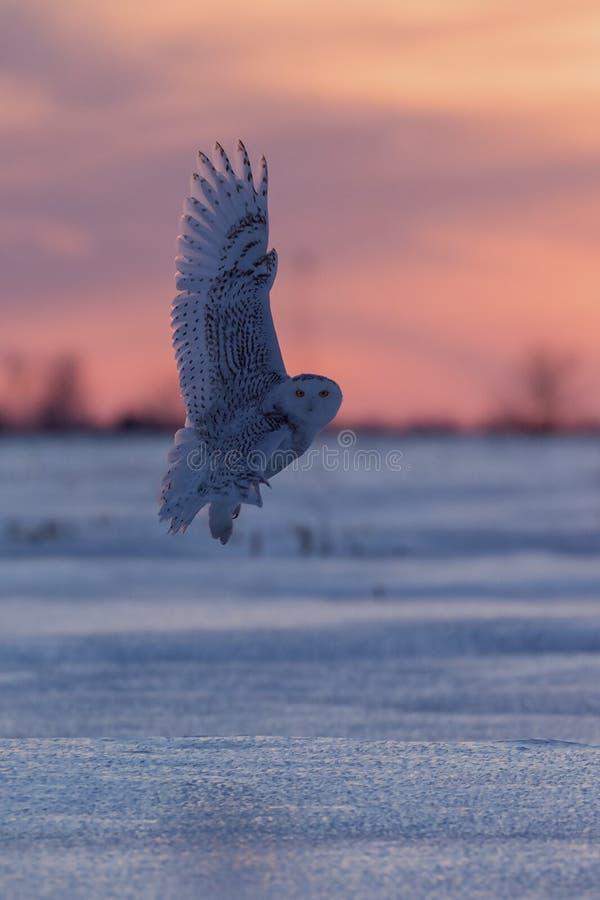 Volo del gufo dello Snowy al tramonto immagini stock libere da diritti