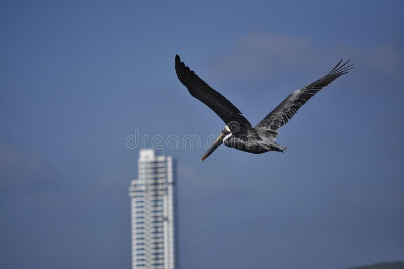 Volo del pellicano fotografie stock libere da diritti