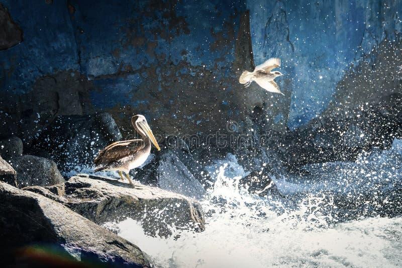 Volo del pellicano e del gabbiano di Brown - Vina del Mar, Cile immagini stock