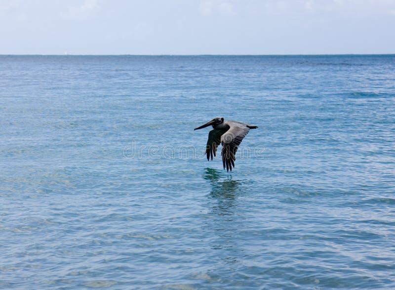 Volo del pellicano sopra l'acqua fotografia stock