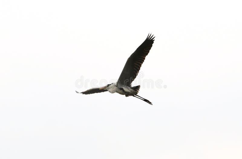 Volo dell'airone nel cielo fotografia stock