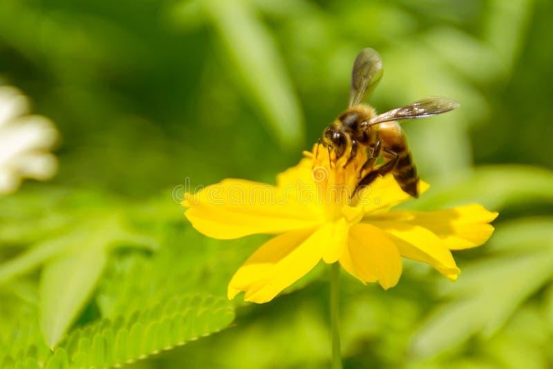Volo dell'ape del miele e polline di raccolta sul fiore fotografie stock libere da diritti