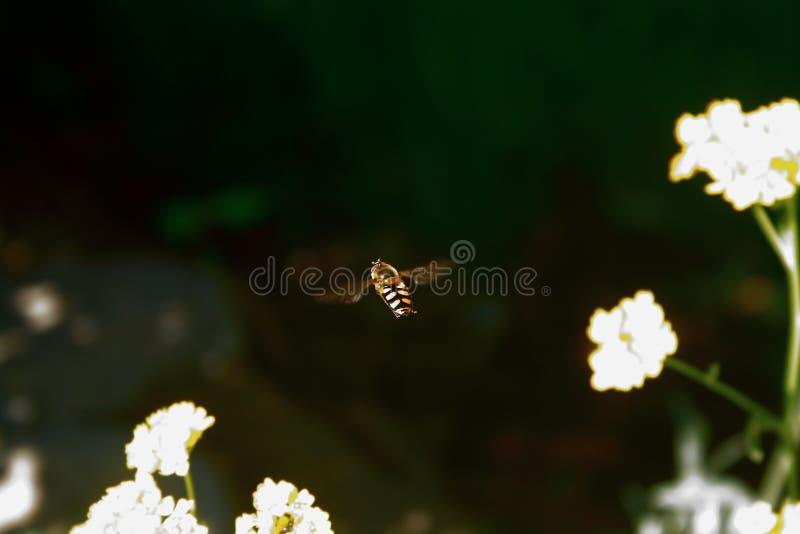 Volo dell'ape intorno ai petali gialli vibranti dei fiori del Canola nei giorni sping annuali immagini stock libere da diritti