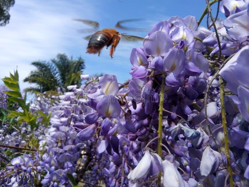 Volo dell'ape vicino ad un fiore immagine stock libera da diritti