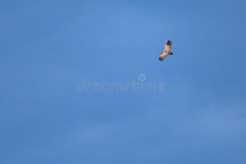 Volo dell'avvoltoio con i cieli che aspettano la preda fotografia stock