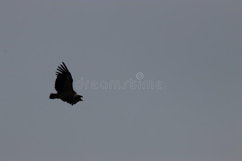 Volo dell'avvoltoio fotografia stock libera da diritti