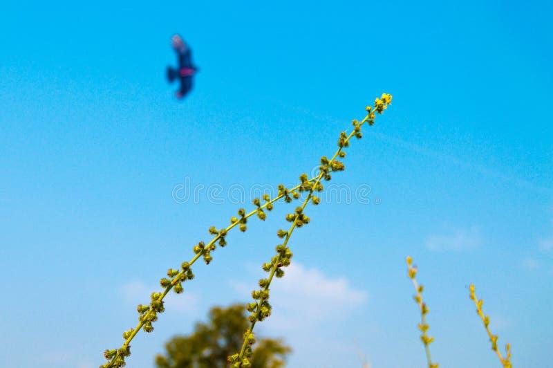 Volo dell'avvoltoio nel cielo fotografia stock