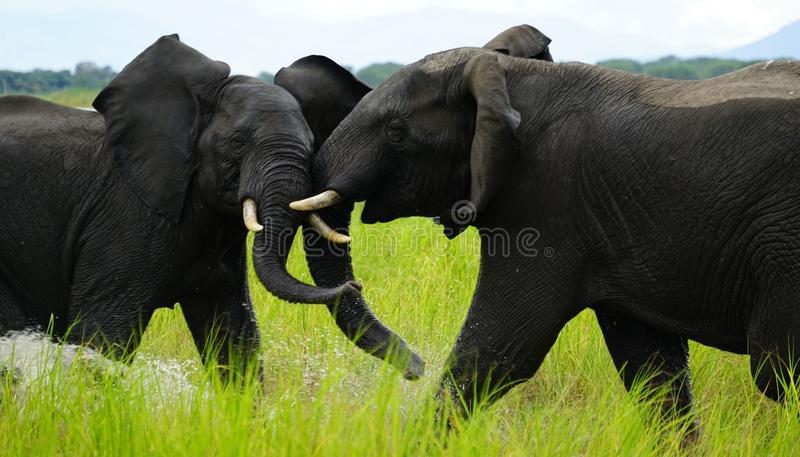 Volo dell'elefante fotografia stock libera da diritti