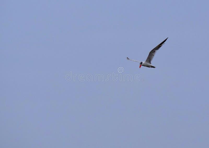 Volo dell'uccello immagini stock libere da diritti