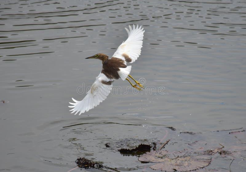 Volo dell'uccello acquatico dal lago fotografia stock