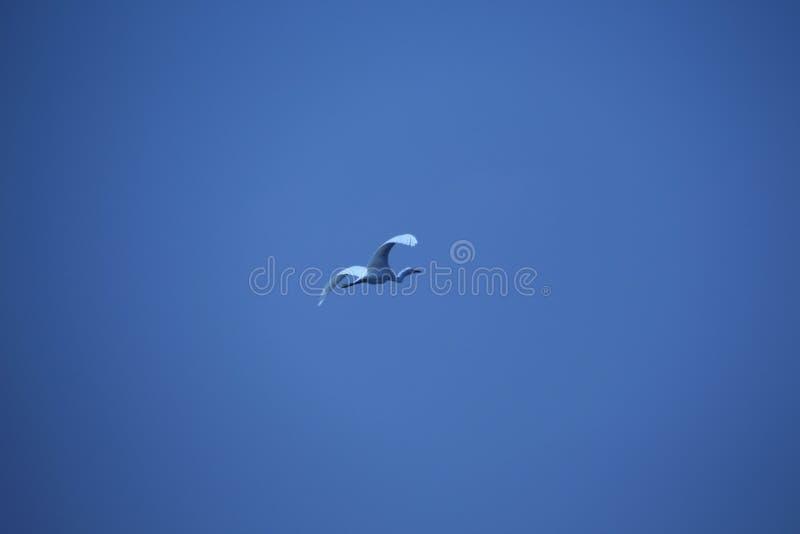 Volo dell'uccello in chiaro cielo immagini stock libere da diritti